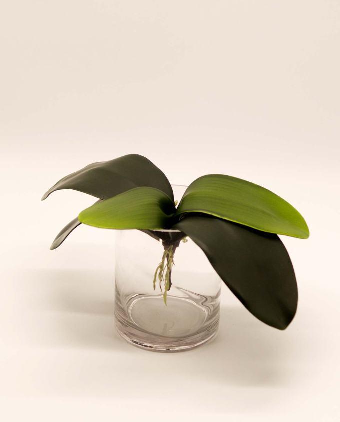 Φύλλα Ορχιδέας με ρίζες