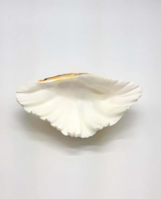 Clam seashell small