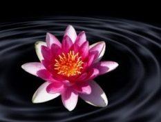 lotus-