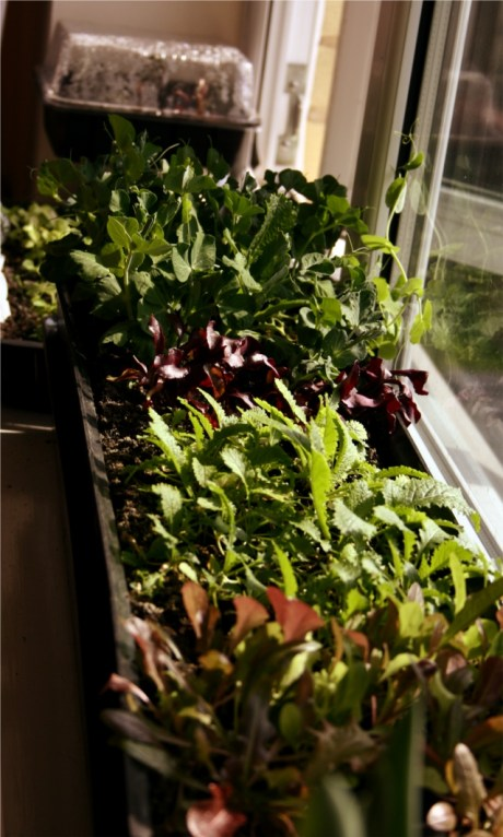 windowsill vegetables
