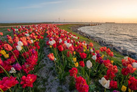 an island full of tulips in Zeewolde flevoland. with a sunrise in the background.