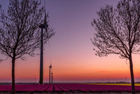 a beautiful sunset in the flevopolder with the windmills. Above a field of nice dark purple tulips field
