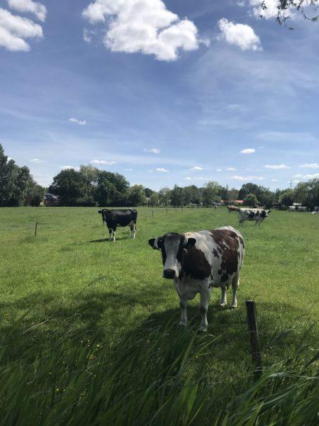 harderwijk fietsreis-koeien