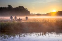 Cows in the field in early morning fog