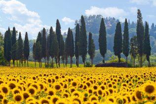 Sonnenblumenfeld in der Toskana quer