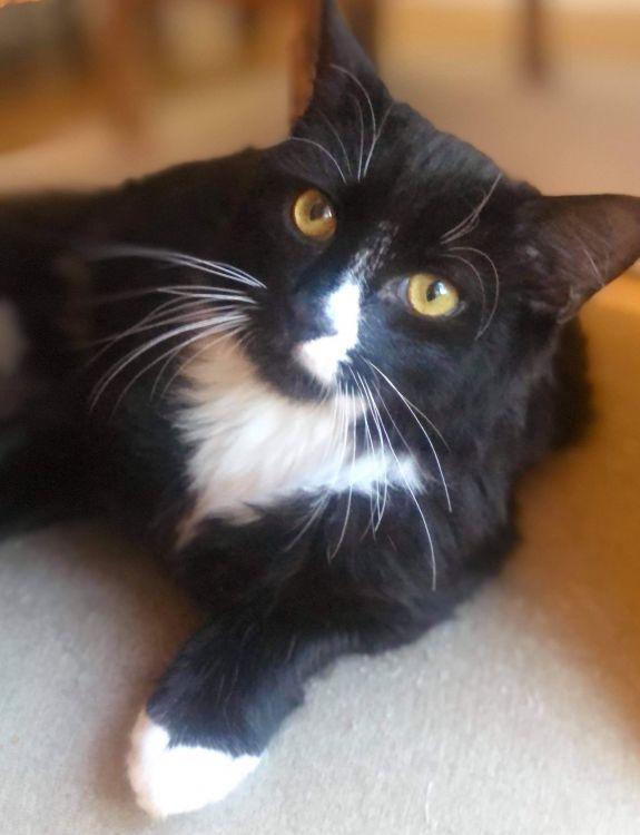 adopt tux cat