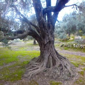 alter olivenbaum kreta