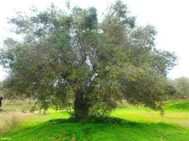 Olivenbaum Kreta