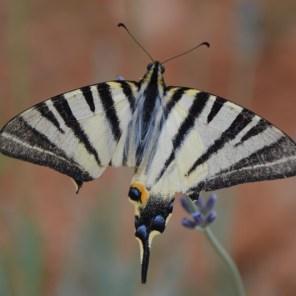 Eindruck Schmetterling 1