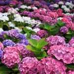 hortensii-flori-soare-vara