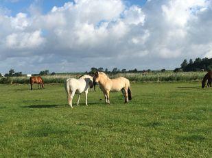 Pferde am Deich