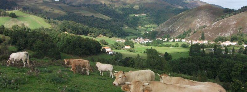 Vaches Ferme et Gite Auzkia aldudes 64