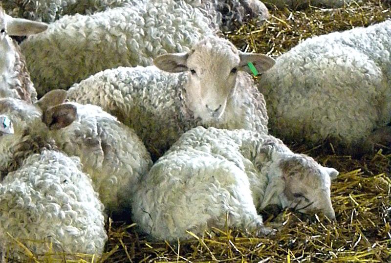L'agneau de lait