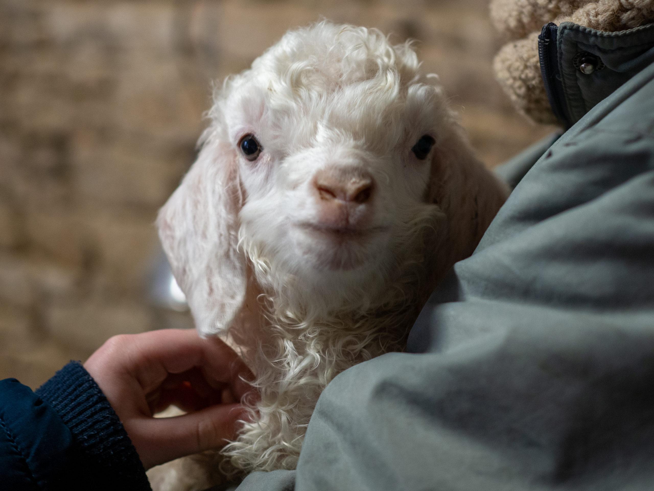 Chèvres angora laine mohair local producteur ferme des P'tits bergers chaussy atraps loiret Essonne Angerville