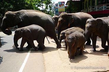 Pinnawala elephant orphanage Sri Lanka