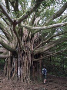 Maui Hawaii - ziemlich beeindruckend der Baum