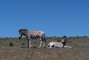 Afrika Addo Nationalpark - Zebra