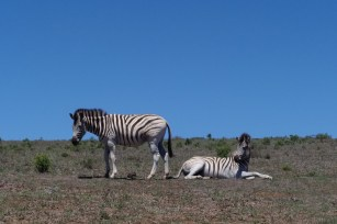 Afrika Addo Nationalpark - Zebra
