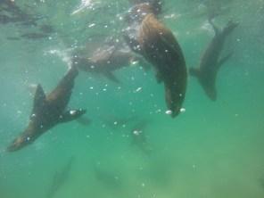 Afrika-Garden-Route - Swim with Seal - Plettenberg Ba