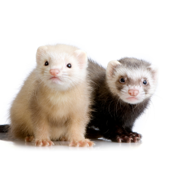 ferret-slider-pic