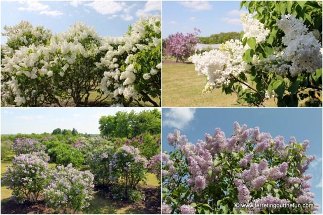 Dobele Lilac Garden
