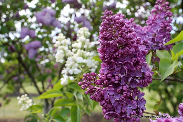 Dobele Lilacs