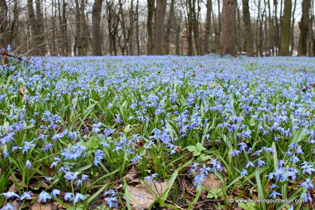 small blue early spring flowers