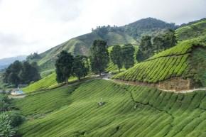 """Die Teeplantagen sind der """"grüne Teppich"""" der Cameron Highlands. Mit der Vergrößerung der Teeplantagen verschwindet aber auch immer mehr Regenwald"""