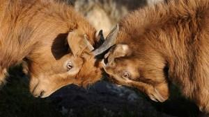 Goats fighting