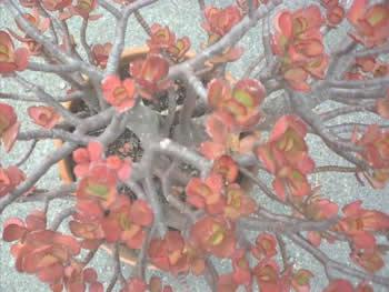 bolinasflowers
