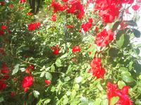 redroses4.JPG