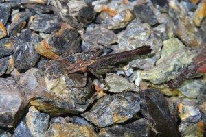 蜻蛉目的幼期稱為稚蟲