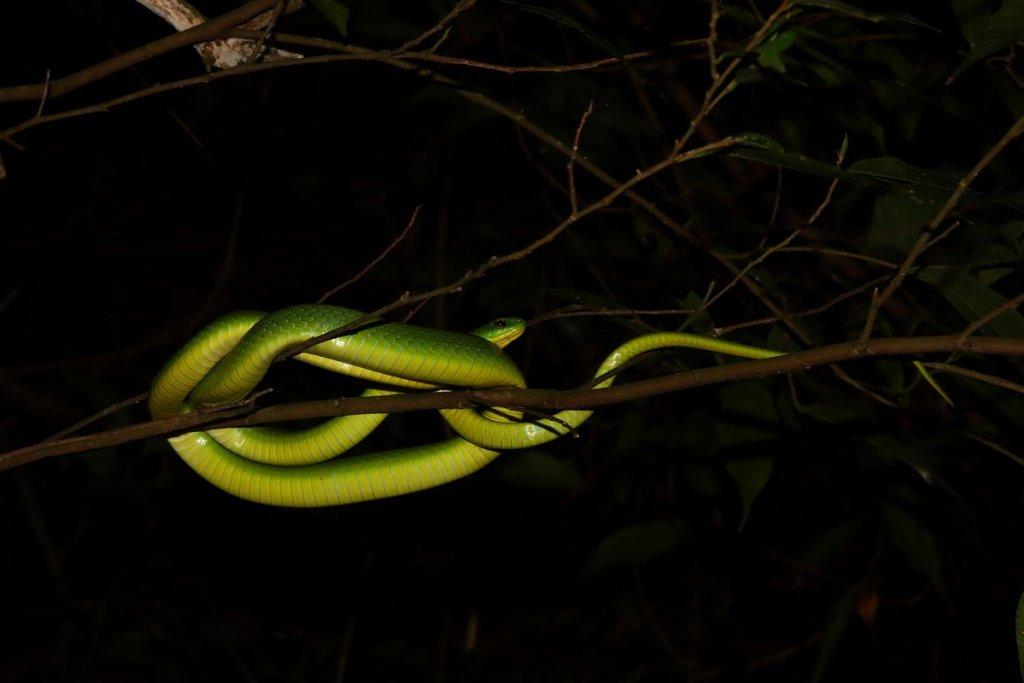 青蛇:白蛇傳的主角之一,全身翠綠,無毒。