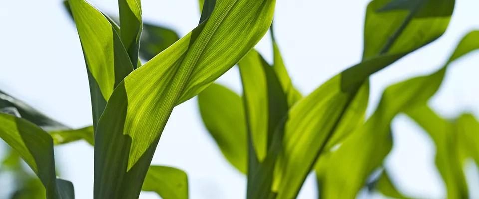 corn_-7