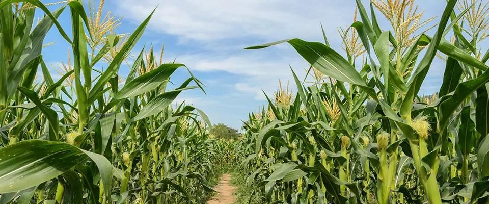corn_-9