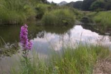 Nagatoro, près de la rivière. Une fleur pousse près des eaux marécageuses.