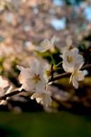 Fleurs de cerisiers sur les douves du château
