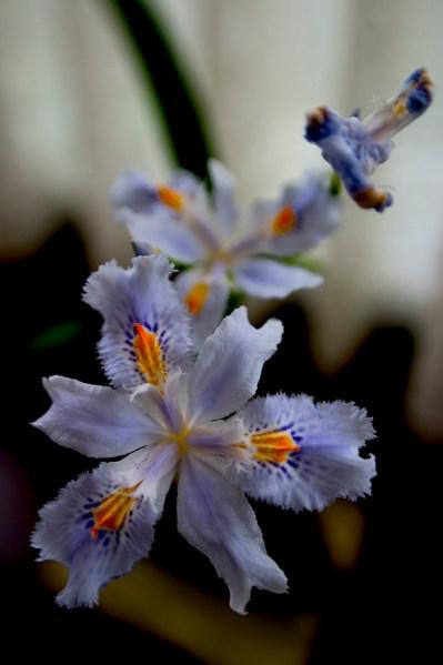 Fleurs de fardin