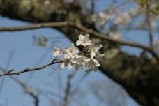 Encore des cerisiers en fleur.