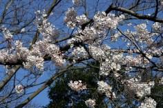 Sakura sur ciel bleu.