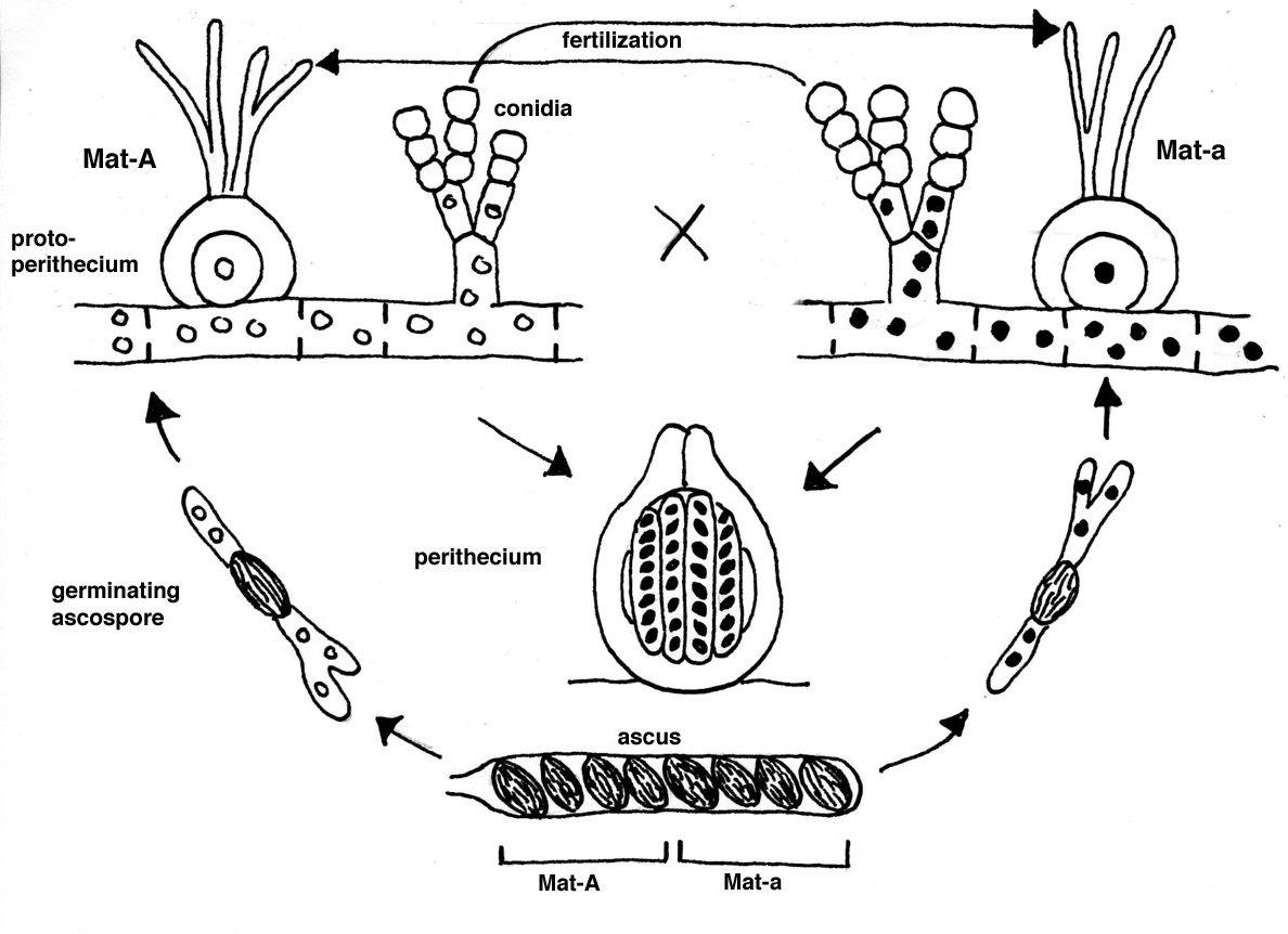 Neurospora Life Cycle