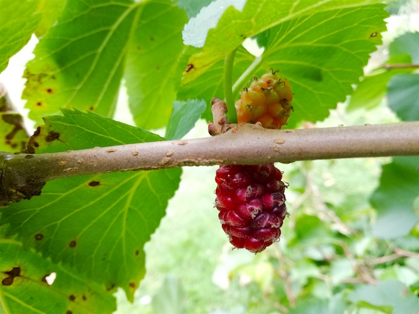 Peel the acorns and pass the mulberries