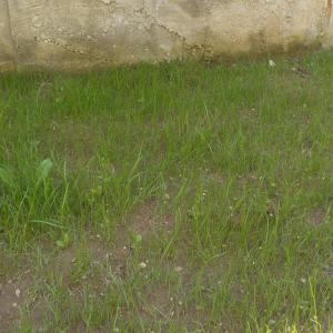 firele de gazon de la baza gardului necesita tundere pentru ca au crescut mult mai inalte decat restul