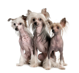 hairless dogs hypoallergenic pets