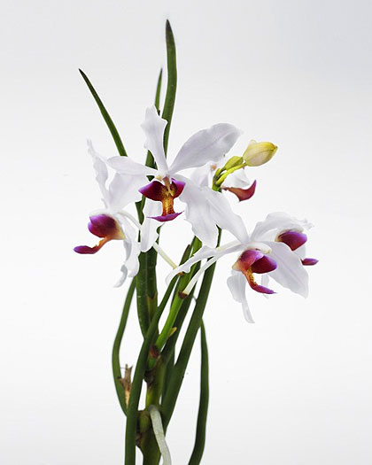 Paravanda-Frida_orchid