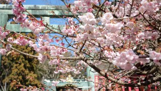 Be In The Know 01; Kinds Of Japanese Cherry Blossoms!