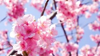 Japan's Culture Of Cherry Blossoms Watching, 'SAKURA OHANAMI'
