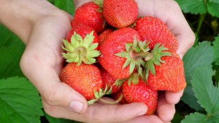 Strawberry Picking Experience; Ishigaki Strawberry Farm