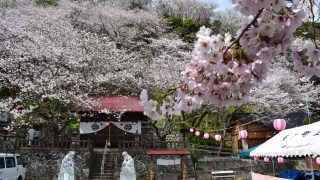 【Shizuoka Sakura Map 20】Mt.Goten-yama Covered With Beautiful Cherry Blossoms