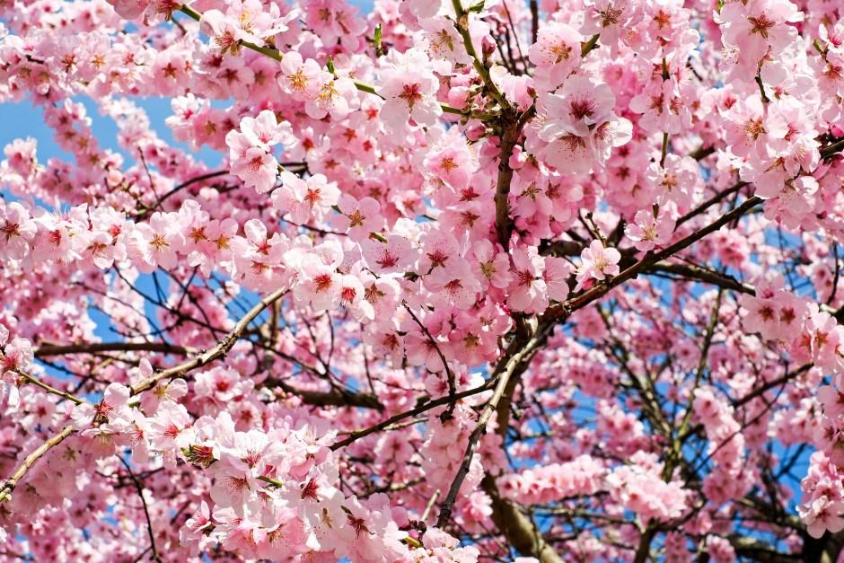 "【Shizuoka Sakura Map 04】Best Place For Sakura Watching In Hamamatsu-city; ""Tobayama Park"""